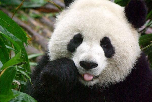 29099-panda-4