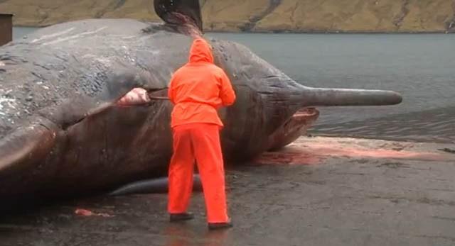 La ballena que exploto en Florence Ballena_explota